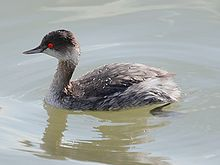 Lovely little grebe